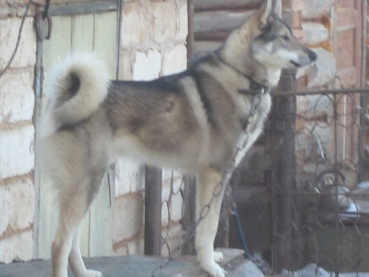 Каюр (2).JPG