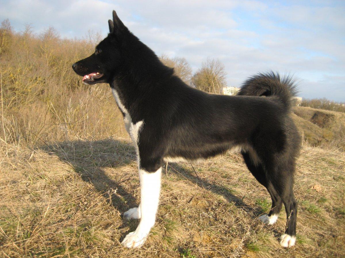 тут фото собак лаек черно-белого окраса жара