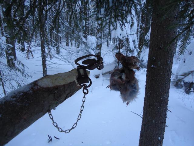 Приманки для ловли куниц